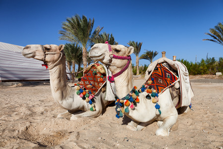 sharm el sheikh: two colorful camels in egypt Stock Photo