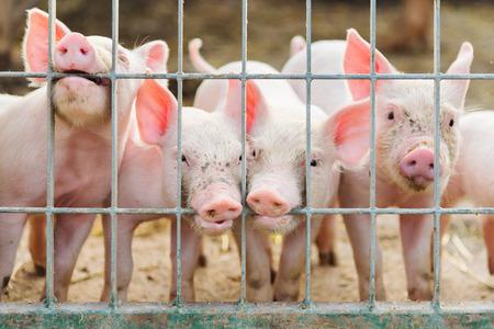 little pigs in farm photo