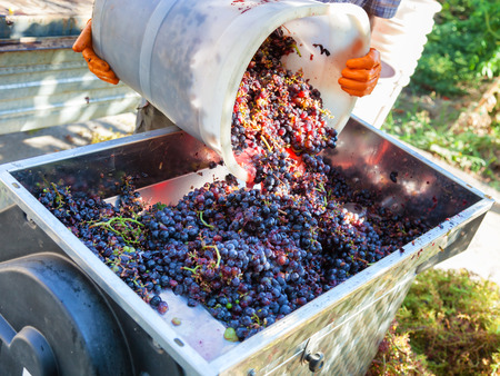 making wine with red grapes photo