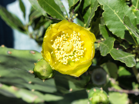 prickly: prickly pear yellow flower