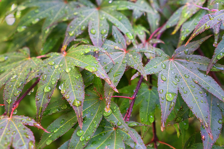acer palmatum: rain drop on japanese maple leafs