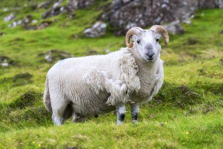 Scottish sheep grazing, Highlands, Scotland