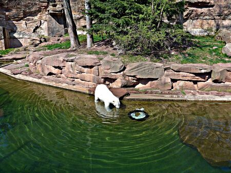 Polar bear creates wave-like motion in water Imagens - 131812976