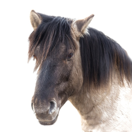 Close up of a brown horse , white background