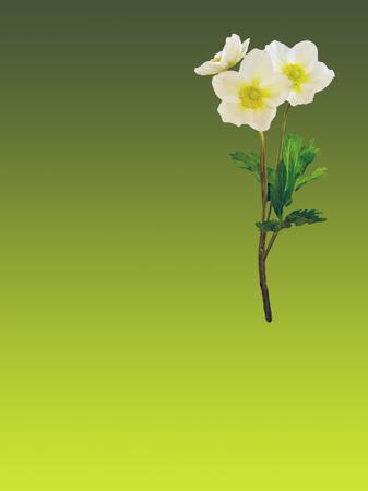 Japanese anemone, windflower in bloom Stock Photo