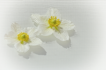 Two Japanese anemones, windflower in bloom with checkered shadow