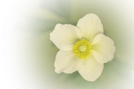 Japanese anemones, windflower in bloom
