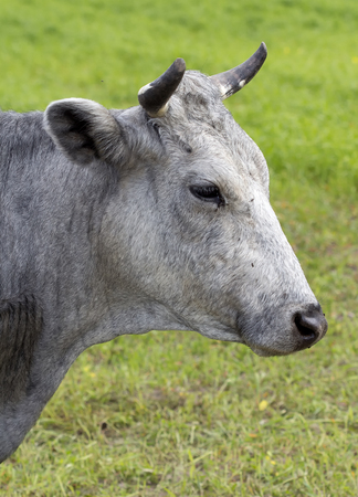 gray: The grey cow portrait in the pasture Stock Photo