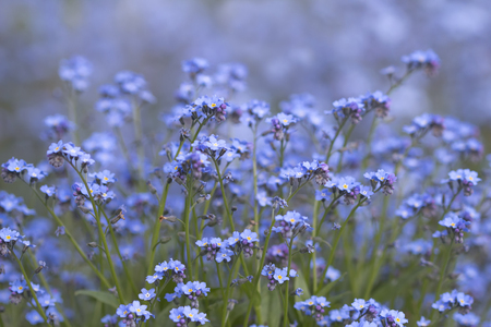 spring blue flowers, not forget me ,Myosotis on natural background