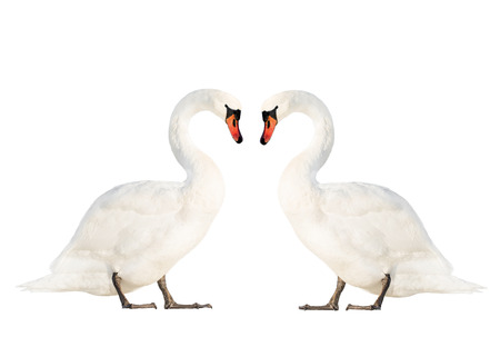 two wild white swans isolated on white background Imagens