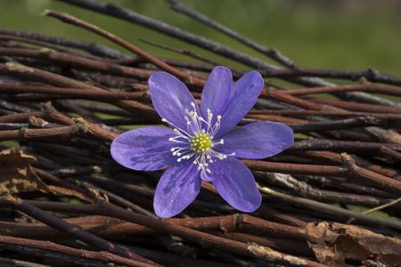 liverleaf blue spring flower Stock Photo
