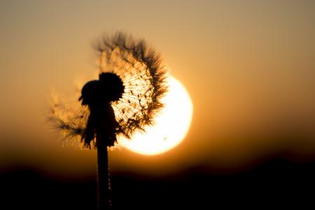 dandelion flower at sunrise, photo taken aganst sun Stock Photo