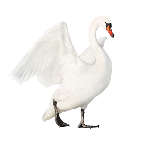 white swan isolated on white background