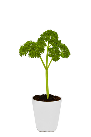 Fresh parsley in white pot on white background  Stock Photo