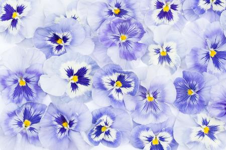 beautiful pansy flowers  background
