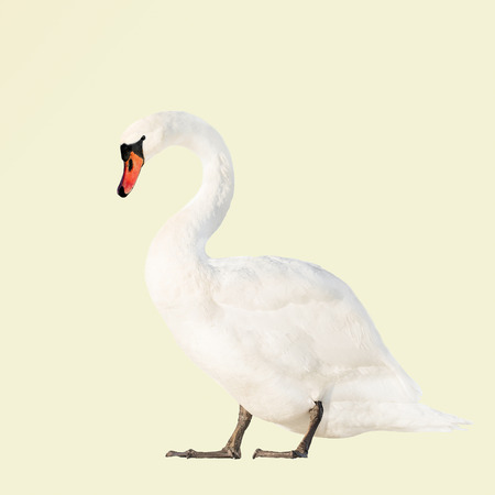 white swan isolated on light yellow background