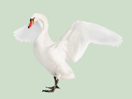 white swan isolated on light green background Foto de archivo