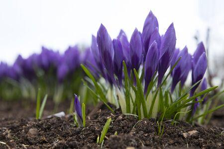 Beautiful purple crocus flower. Early spring flowers. Foto de archivo