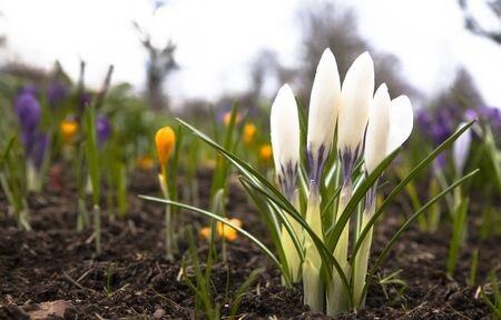Beautiful crocus flower. Early spring flowers. Foto de archivo