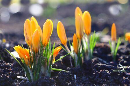 Beautiful yellow crocus flower. Early spring flowers. Foto de archivo
