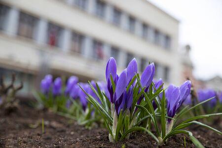 Beautiful purple crocus flowers on house background