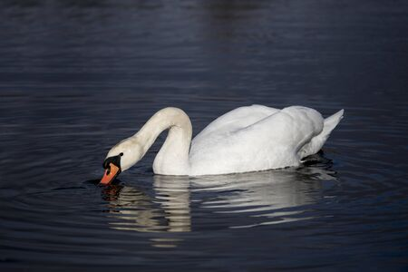 White swan in the lake with blue dark background