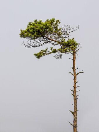 green pine tree on grey background,copy space Foto de archivo