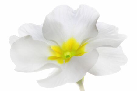 Spring flower blossoming. Primrose or primula on white background