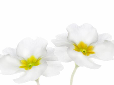 Spring flowers, primrose or primula on white background Foto de archivo