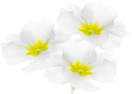 Three spring flowers. Primrose or primula on white background Foto de archivo