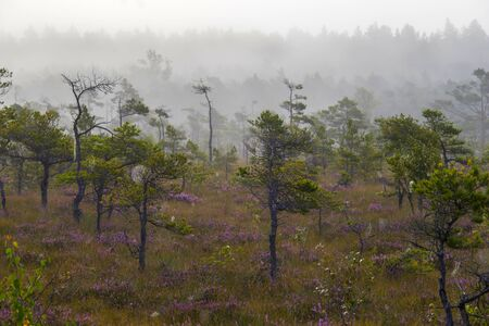 pines and lflowers in swamp,early morning,mist