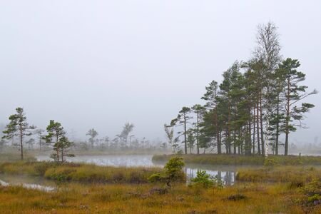 pines and lake in swamp,early morning,mist