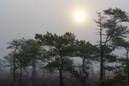pines and sun in swamp,early morning,mist