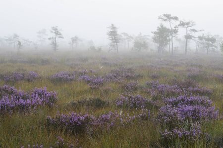 pines and flowers in swamp,early morning,mist