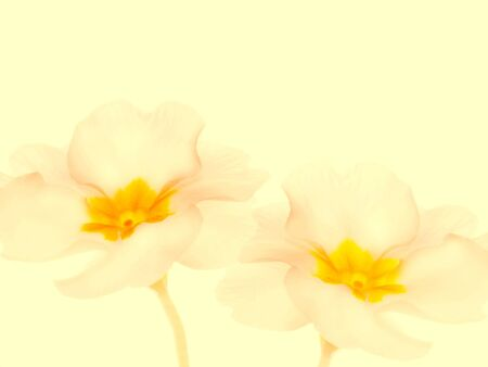 Spring flowers, primrose or primula on white background Фото со стока
