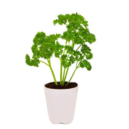 Fresh parsley in white pot isolated on white background Foto de archivo - 145085660