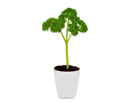 Fresh parsley in white pot on white background  Фото со стока