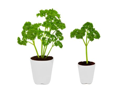 Fresh parsley in white pot isolated on white background Фото со стока - 145085916