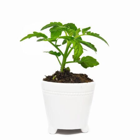 Tomato seedling in pot isolated on a white background