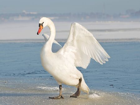 white swan spreading the wings, on ice in winter Фото со стока
