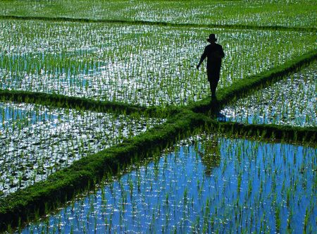 A farmer walking in a rice field in Northern Thailand
