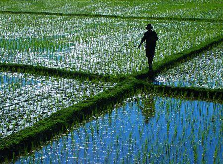 personas tomando agua: Un agricultor caminar en un campo de arroz en el norte de Tailandia