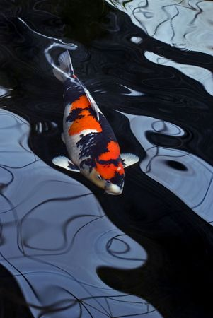 A red, white and black Showa koi carp swimming in a dark pond and distorted by the water. 스톡 콘텐츠