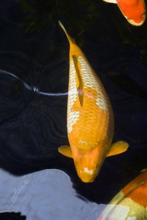 coy fish: A yellow and white Karawimono koi carp swimming in a dark pond and distorted by the water. Stock Photo