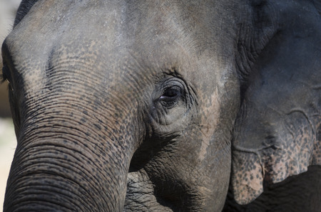 A horizontal image of an asian elephant in Thailand