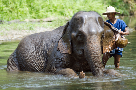 exploit: Chiang Mai, Thailand - April 23, 2014: A mahout bathes his elephant in a river outside Chiang Mai, Thailand on January April 23, 2014.