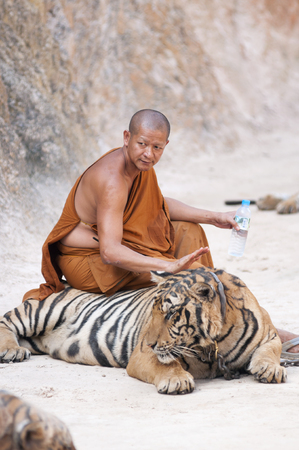 aggressively: Kanchanaburi, Thailand - February 12, 2012: A Thai Buddhist monk sits on a chained adult male tiger at Wat Pha Luang Ta Bua Yanasampanno - also known as the Tiger Temple - in Kanchanburi, Thailand on Febuary 12, 2012. Editorial