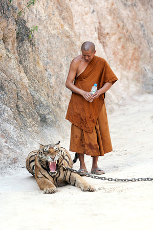 Kanchanaburi, Thailand - February 12, 2012: A Thai Buddhist monk observes a chained adult male tiger at Wat Pha Luang Ta Bua Yanasampanno, also known as the Tiger Temple, in Kanchanburi, Thailand on Febuary 12, 2012.