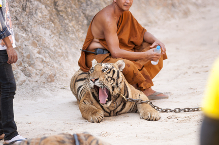 Kanchanaburi, Thailand - February 12, 2012: A Thai Buddhist monk sits on a chained adult male tiger as it roars at a temple employee at Wat Pha Luang Ta Bua Yanasampanno - also known as the Tiger Temple - in Kanchanburi, Thailand on Febuary 12, 2012.