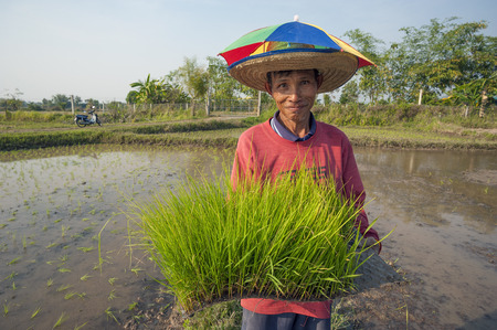 Chiang Mai, Thailand - February 15, 2016: A farmer works on his organic rice plantation near Chiang Mai, Thailand on February 15, 2016.